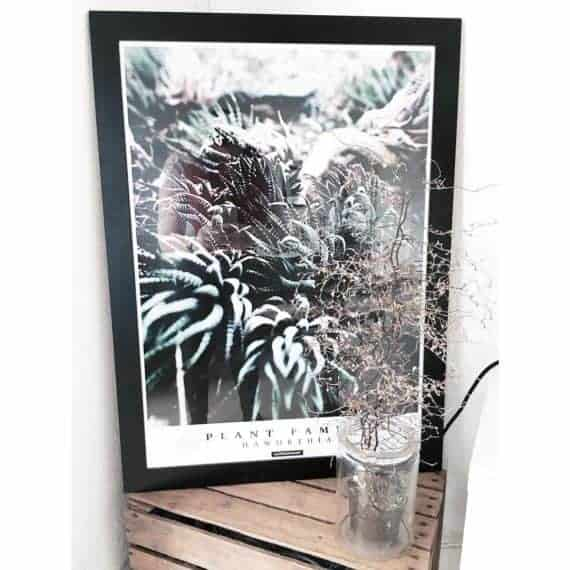 haworthia-50-70-plante-plakat