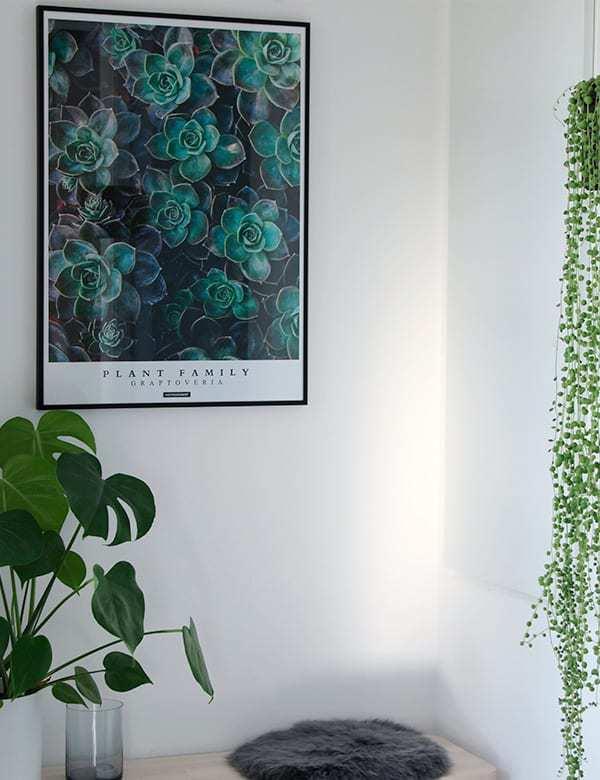 Graptoveria plakat - Plante plakat med grønne sukkulenter