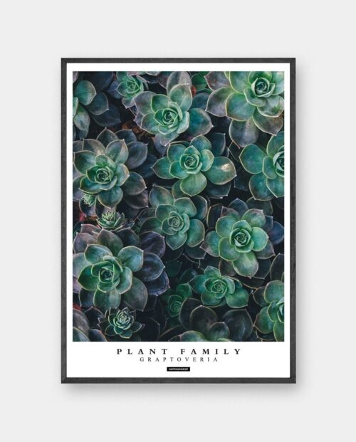 Graptoveria plakat - Plante plakat sukkulenter i sort ramme