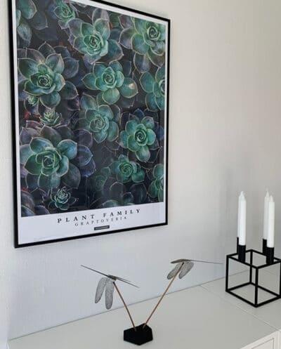 Graptoveria plakat med planter og tekst