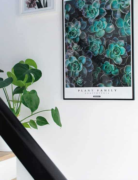 graptoveria-plante-plakat