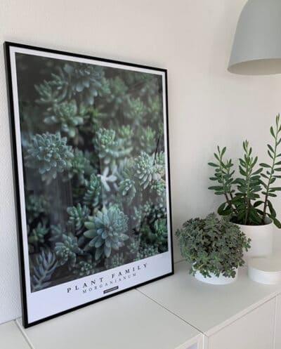 Morganianum plakat 'Hængende mexicansk stenurt' stående på hvid kommode