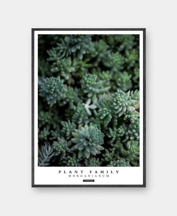 Morganianum plakat - Plante billede af grønne sukkulenter med tekst i sort ramme