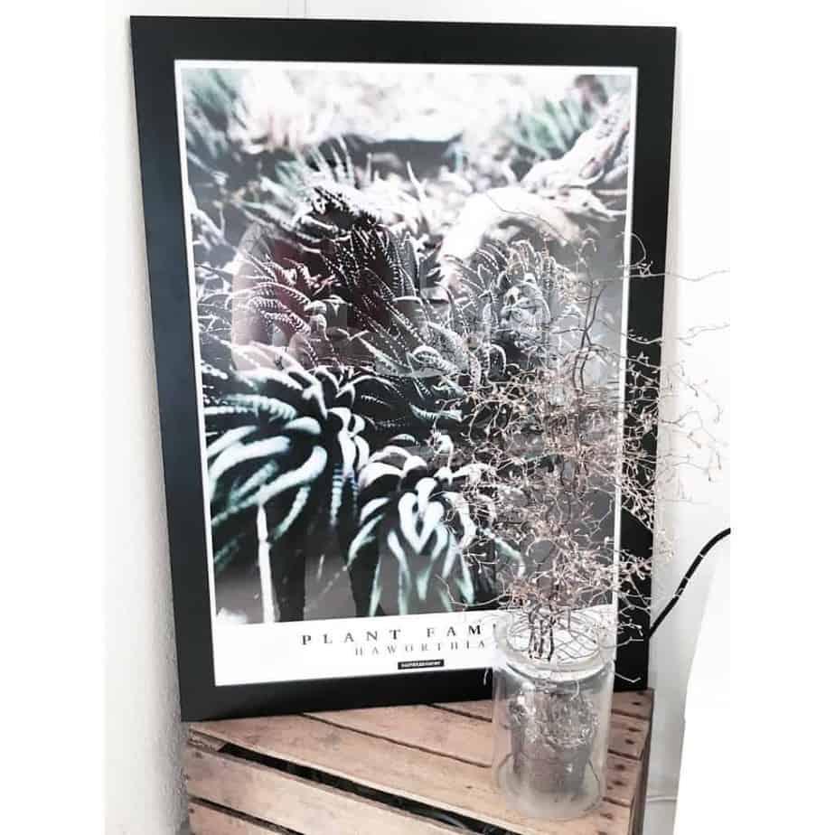 plante-plakater-haworthia