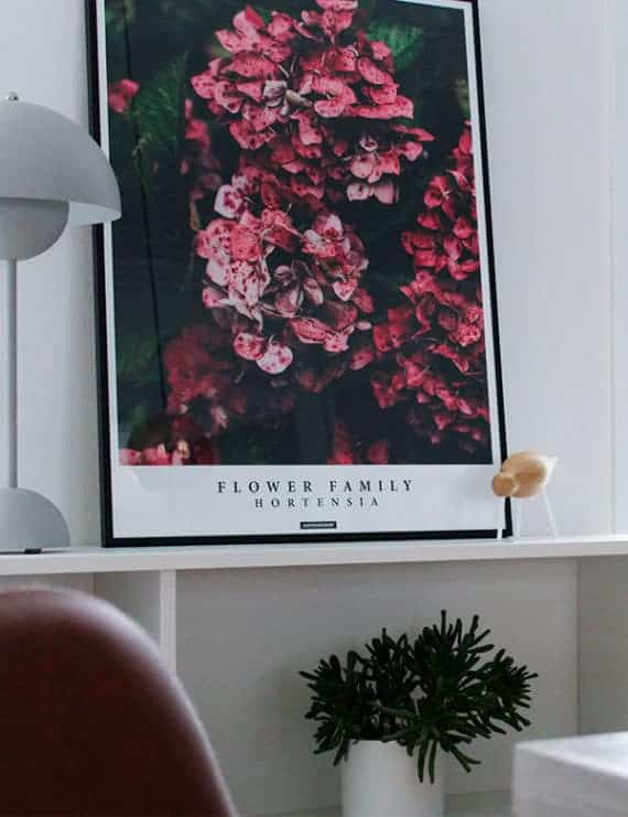 Blomster billede af Hortensia blomst - Hortensia plakat