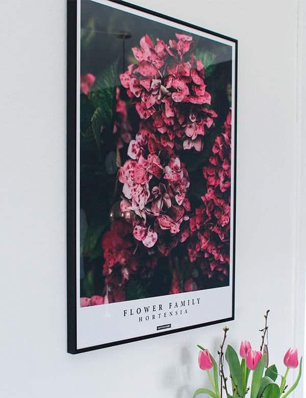 Hortensia blomster plakat