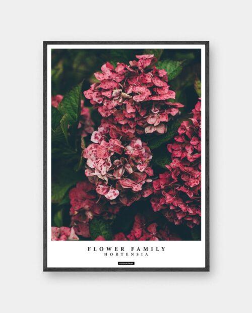 Hortensia plakat - Hortensia blomster billede med tekst i sort ramme