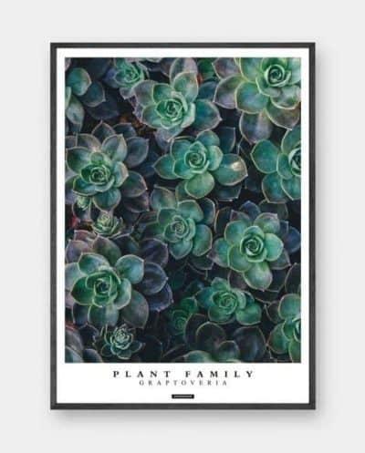 graptoveria-moderne-plante-plakat-570x708