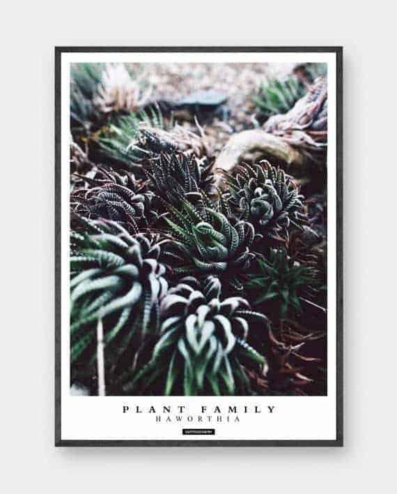 haworthia-groen-plante-plakat-570x708px