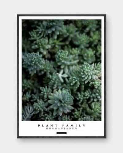 morganianum-moderne-plante-plakat-570x708