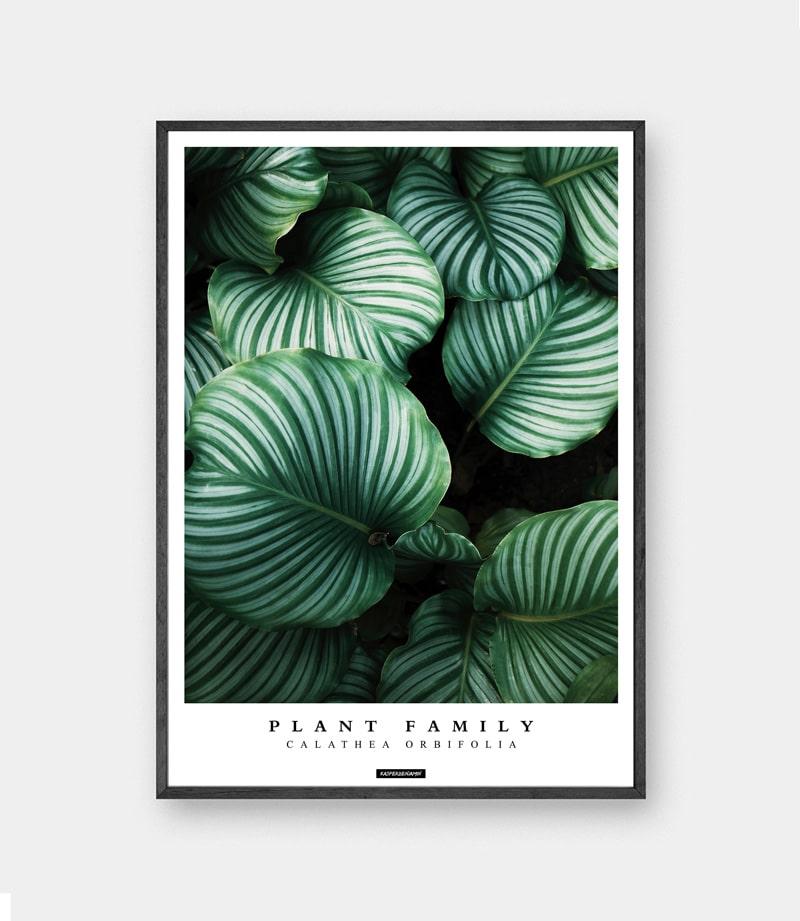 Calathea Orbifolia plakat - Grøn plante plakat fingerphilodendron billede
