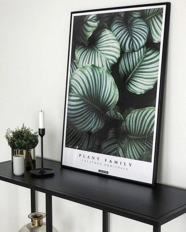 Calathea Orbifolia plakat