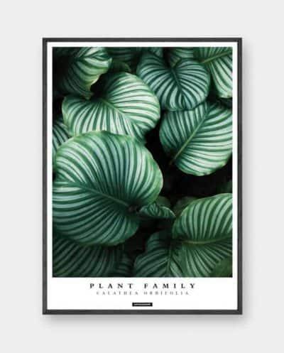 Calathea Orbifolia plante plakat med sort billederamme