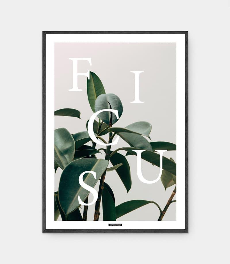 Ficus elastica plakat i ramme