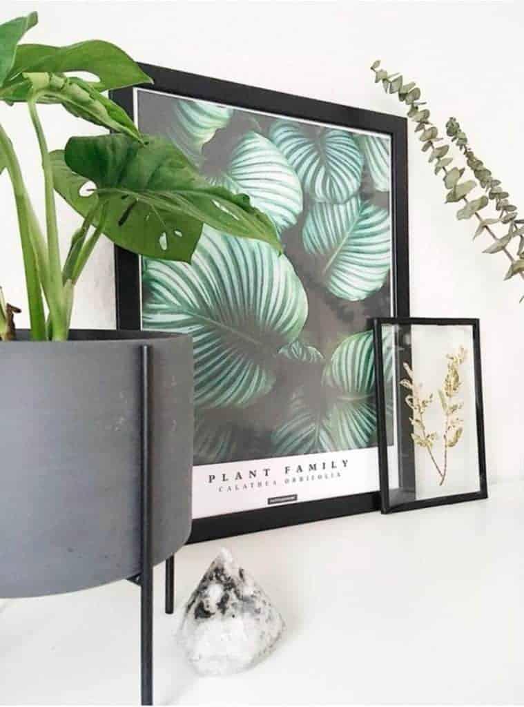 Botanisk plante plakat med tekst - Calathea Orbifolia plakat