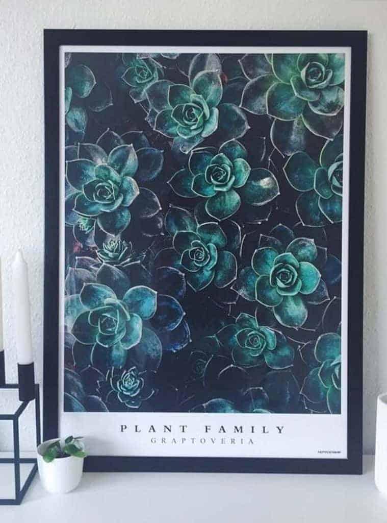Grøn sukkulent plante billede - Graptoveria plakat