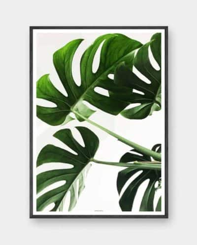 Monstera plakat - monstera deliciosa