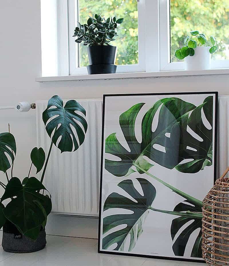 Monstera delicious - plante plakat