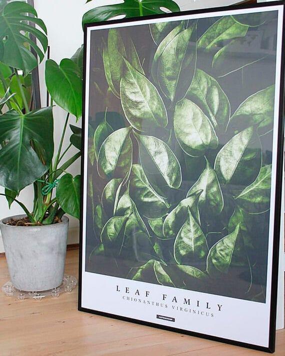 Fringetree plakat - botanisk plakat med grønne blade