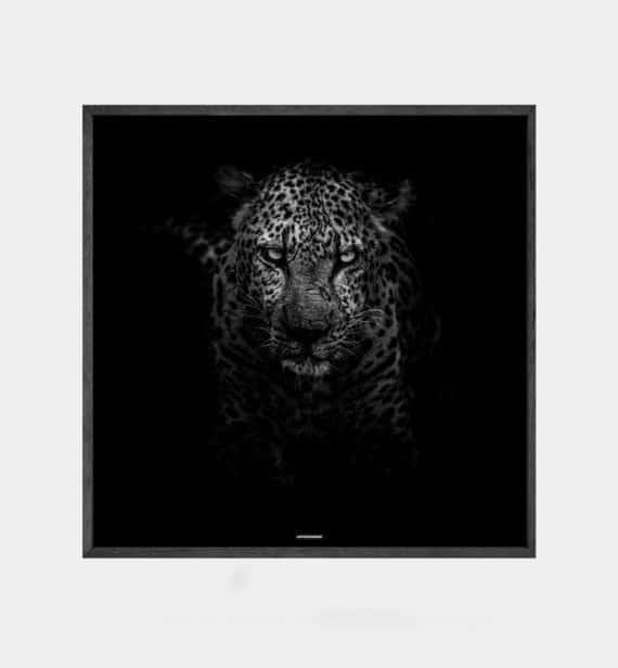 Leopard plakat - Sort hvid dyremotiv