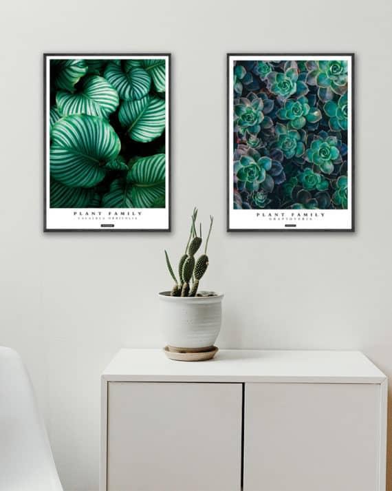 Plakatsæt - Calathea Orbifolia og Graptoveria