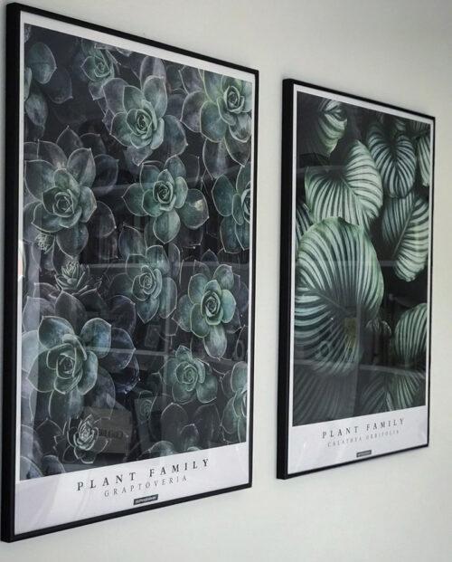 Graptoveria og Calathea Orbifolia plakatsæt