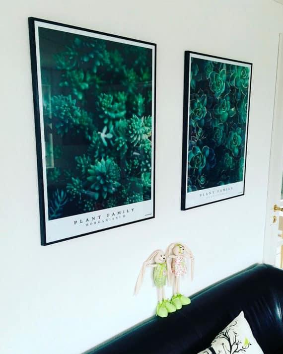 Plakatsæt - Graptoveria og Morganianum