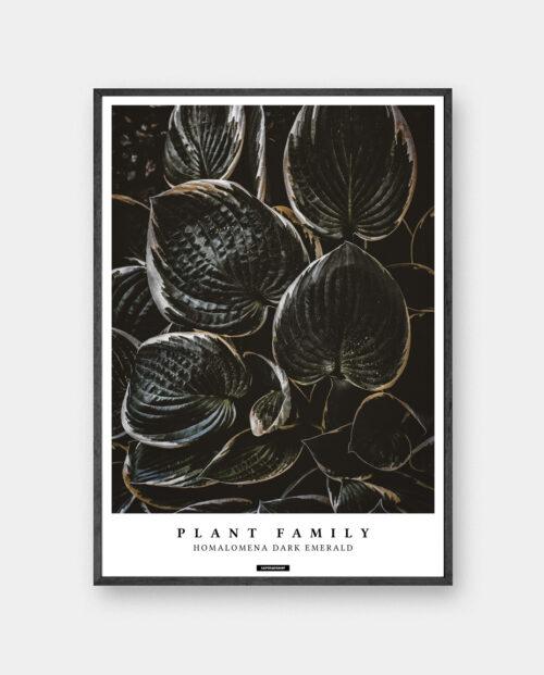 Homalomena plakat med planter og tekst i mørk ramme