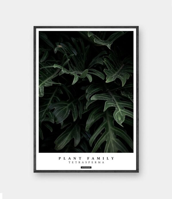 Tetrasperma plante plakat
